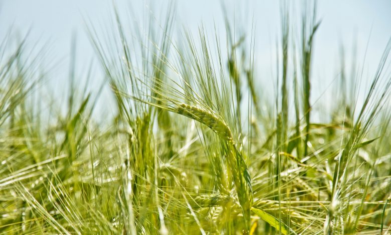 Wheat Grass Facts and Health Benefits