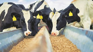 Cattle and animal feed
